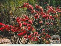 Crimson Honey-Myrtle found in the Little Dersert near Kaniva
