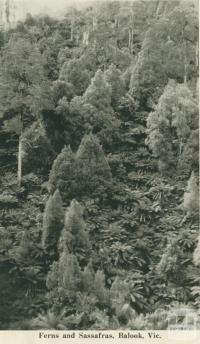 Ferns and Sassafras, Balook, 1949