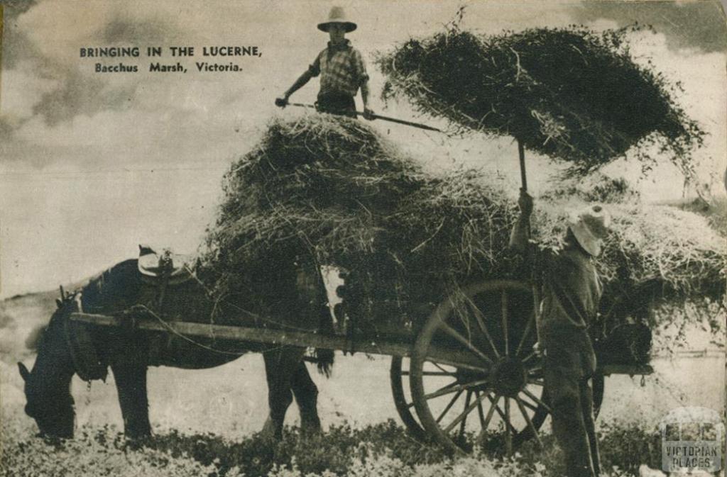 Bringing in the lucerne, Bacchus Marsh, 1954