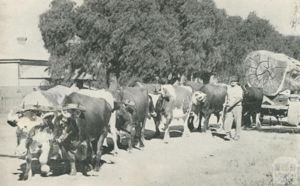 Bullocks hauling timber, Echuca, 1950
