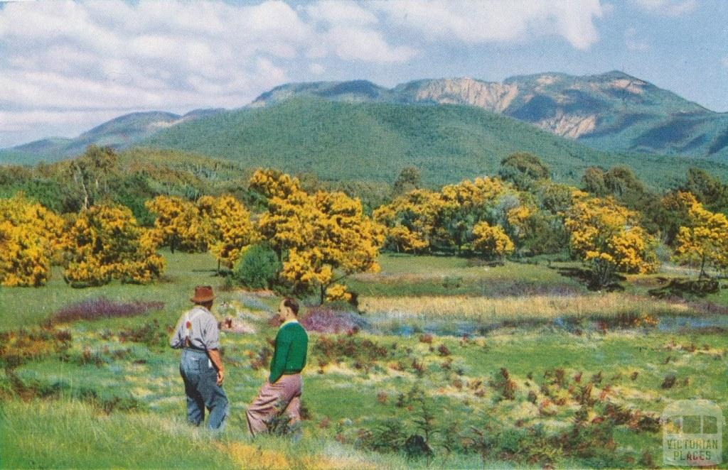 Wattles in blossom, Porepunkah, c1960