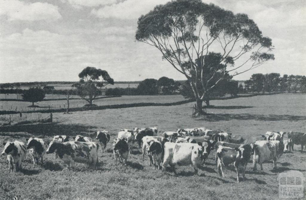 Stud Ayrshire herd, Derrinallum, 1958