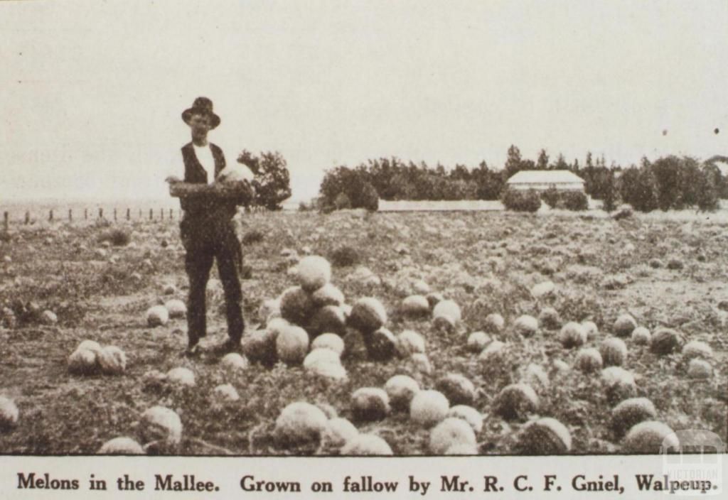 Melons grown by Mr Gniel, Walpeup, 1921