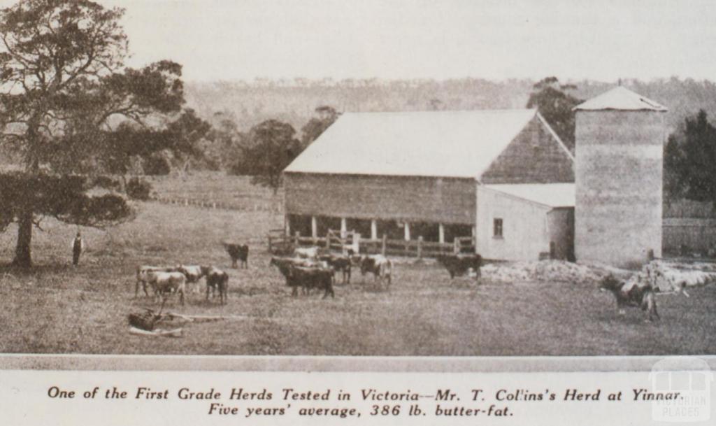 Mr T Collin's herd at Yinnar, 1931
