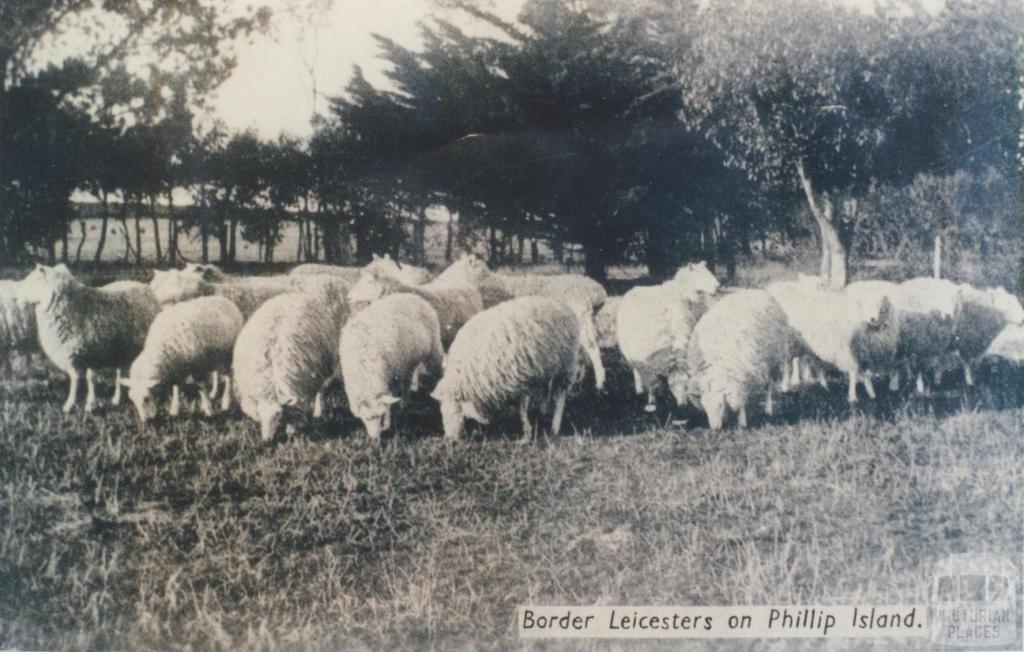 Border Leicesters on Phillip Island, 1940