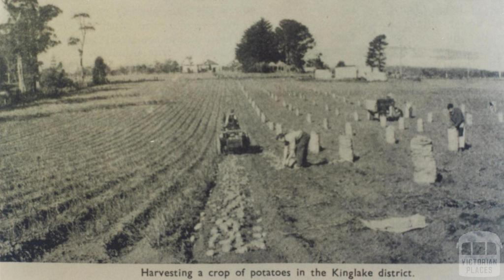 Harvesting potatoes, Kinglake district, 1951